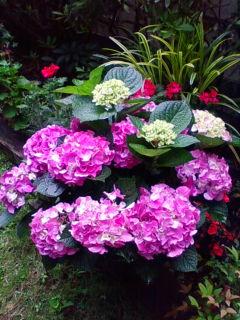 素晴らしい紫陽花のプレゼント