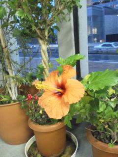 一輪開いたオレンジのハイビスカスの花