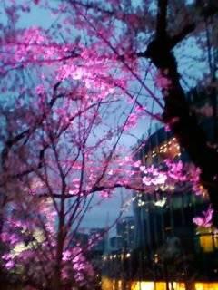 六本木「ミッドタウン」の庭にあるピンクにライトアップされた桜