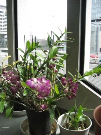 六本木のオフィスにある鉢植えがいっぱい蕾をつけていました