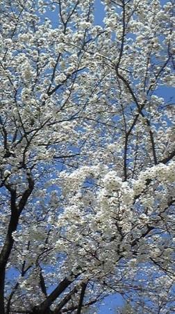 九州では良いお天気が続き満開だそうです